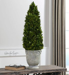Boxwood, Cone Topiary