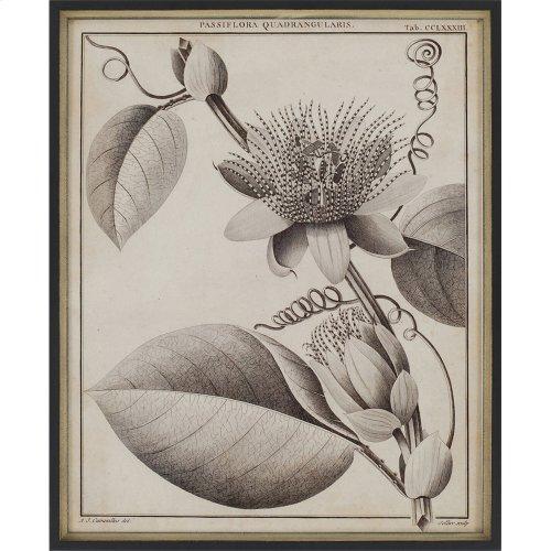 Passiflora Pk/4